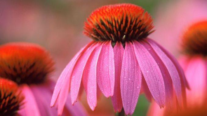 planta-fresca-echinacea equinacea